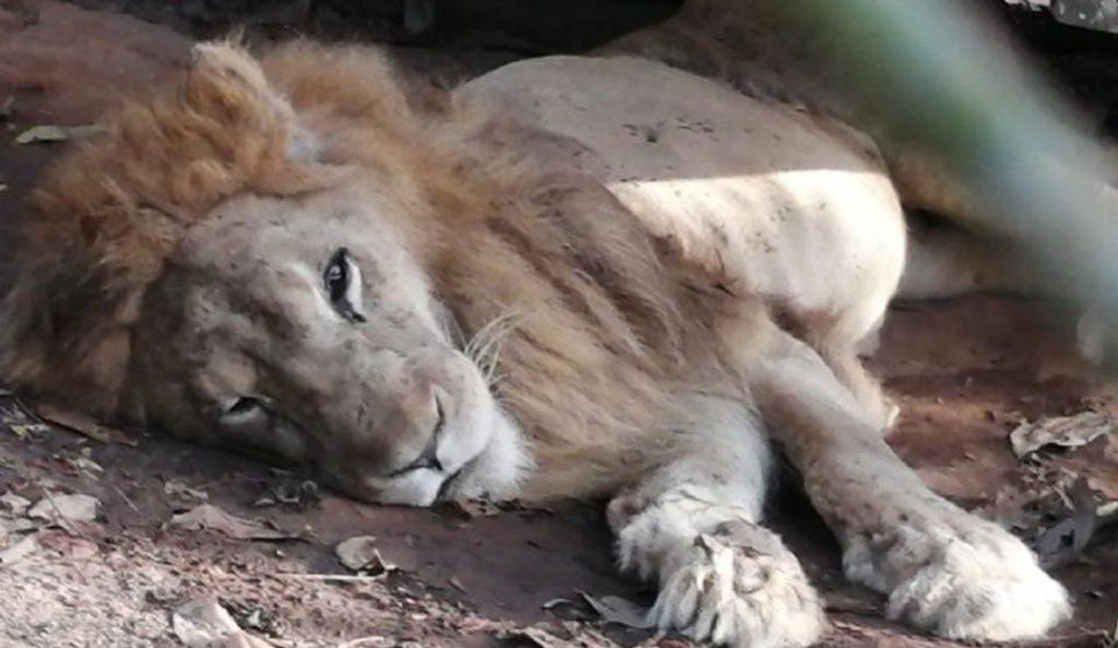 Júpiter, el león que regresa a Cali después de un año, esta delicado de salud.
