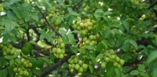 espécies de Umbu