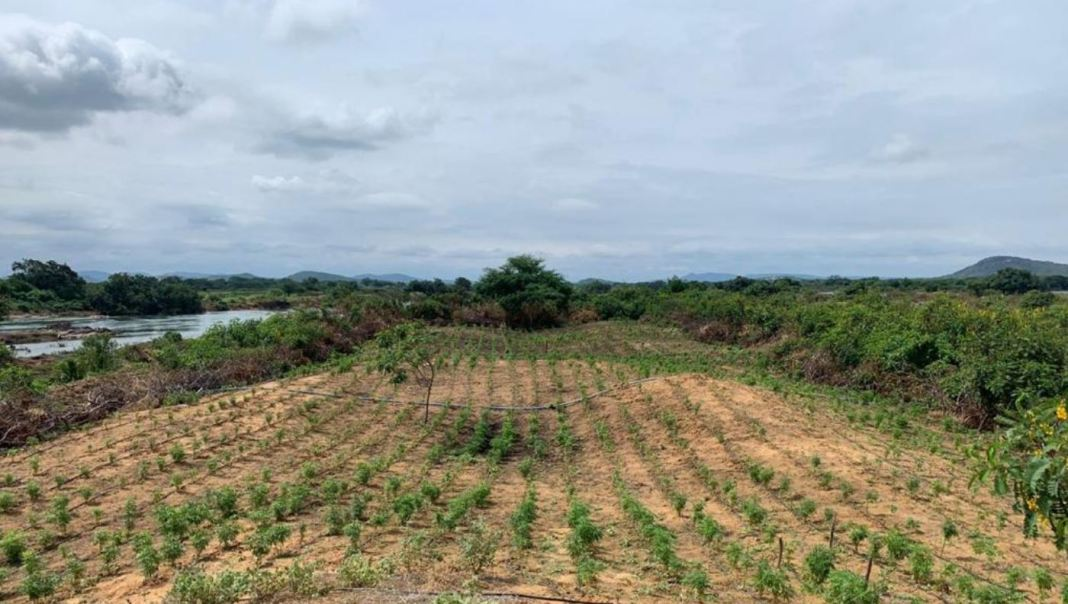 plantação de maconha ilha são francisco