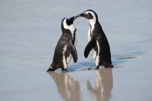 Simon's Town penguins