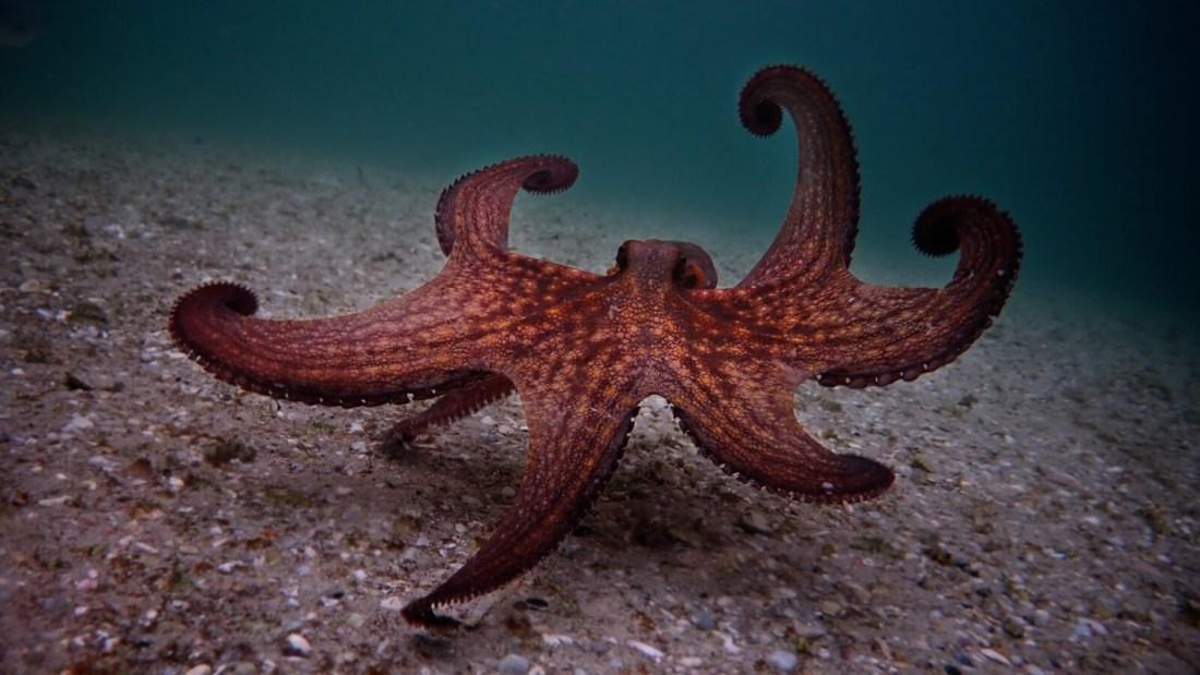 a true story about simonstown my-octopus-teacher_octous-walking_craig-foster_wide-