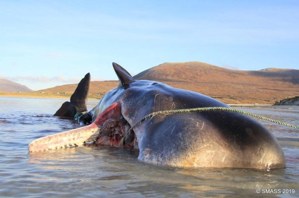 Ballena varada muere y encuentran 100 kilos de basura en su estómago