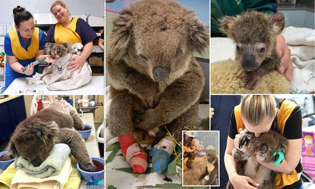 Convierten escuela primaria en refugio para koalas rescatados de incendios en Australia