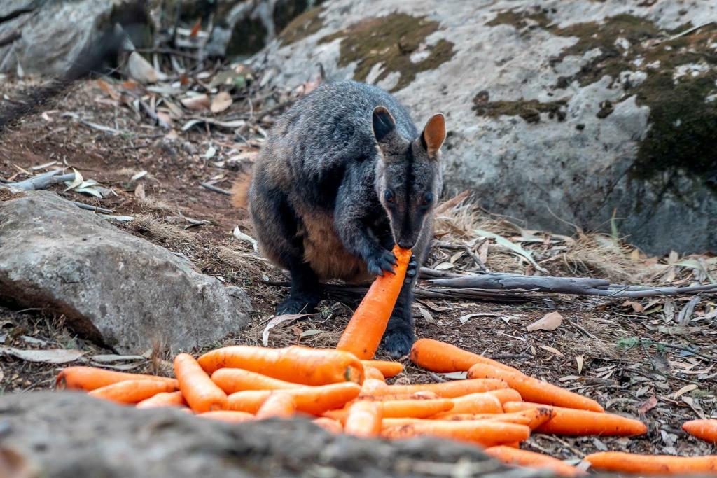 Llueven zanahorias en Australia, lanzan vegetales desde helicópteros a animales por incendios