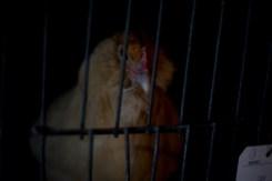Unfair chicken advantage