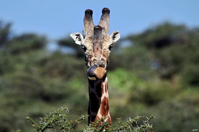 A picture taken on August 5, 2019 shows a reticulated sub-species of Giraffe at Loisaba conservancy in Laikipia. In Kenya, as across the wider African continent, the world's tallest mammals are less abundant than they once were, their numbers having quietly yet steadily declined in recent decades. The twin drivers of poaching and habitat destruction have sent populations of girafes into freefall. TONY KARUMBA / AFP