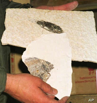 Steve Rogers holds two fossils in the Lincoln County Sheriff's evidence locker in Kemmerer, Wyo., in this Dec. 7, 1999 photo. The fossils were confiscated as evidence by police. Hidden by the vastness of the West, thieves plunder the ground of fossils valued by scientists for their portraits of prehistoric times. Police say fossils are sold worldwide on a burgeoning black market. Commercial fossil dealers contend police exaggerate the problem and argue more public land should be open for digging. Rogers has