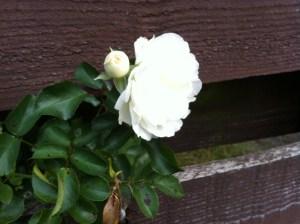 Rose rakt aus Zaun heraus