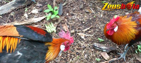 Ayam Hutan Sumatera Liar
