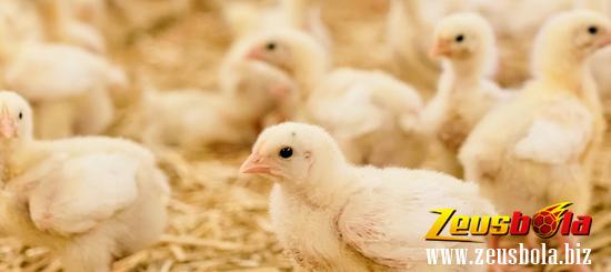 Cara Merawat Anakan Ayam