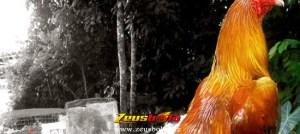 Kelebihan Ayam Bangkok Aduan