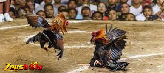 Agen Judi S128 Sabung Ayam Online Live Terpercaya di Indonesia