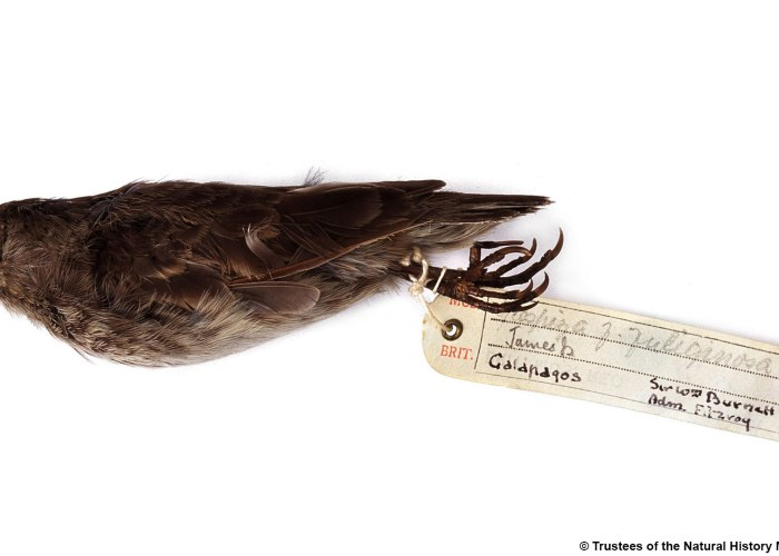 A photograph of a dead finch against a white background with a handwritten tag on it's feet.
