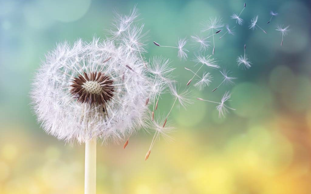 Dandelions reveal newly found form of flight