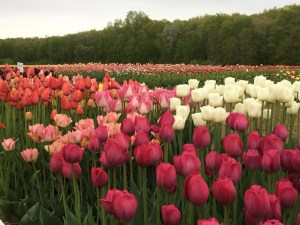 Wicked Tulips @ New Fairfield Senior Center | New Fairfield | Connecticut | United States