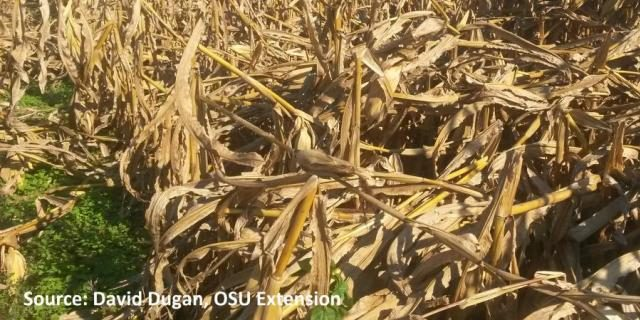 Ohio Corn: 6 Tips for Harvesting Lodged Crops – AgFax