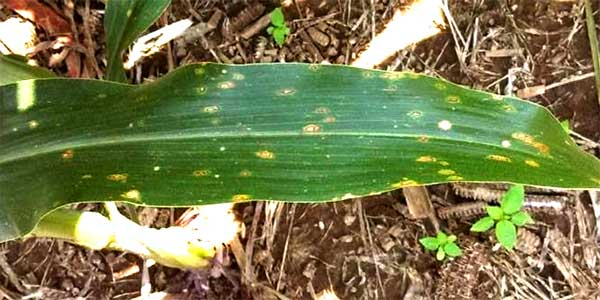 "Missouri Corn: Another ""Interesting"" Year for Foliar"