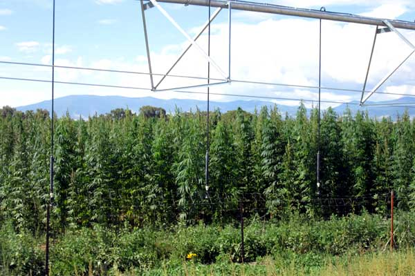 Florida: Industrial Hemp Pilot Project – Varieties, Planting