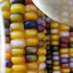 New Tool Called PlantSEED Could Make Corn Perennial