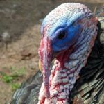 6 Quick Facts About Thanksgiving Turkey