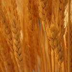 Wheat genome mapped, opening doors for better breeding