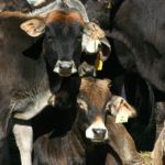 How a Farmer and an Animal Scientist Created a World First for Cattle Trading