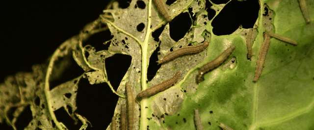 How Genetic Engineering is Helping Farmers Combat their Biggest Pests