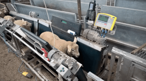 Neil Perkins' sheep conveyor