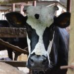 VC-backed UK Dairy Technology Silent Herdsman Acquired by Israel's Afimilk