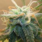 Geneticists are Getting High on Marker-Assisted Selection for Cannabis