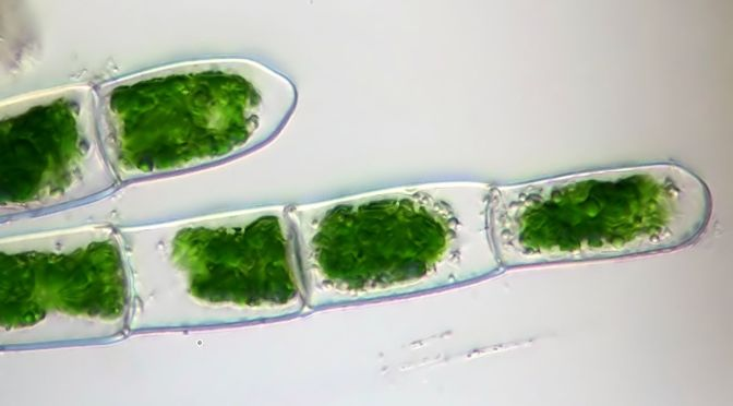 what are two human uses of algae