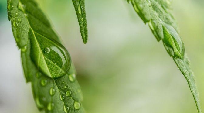 cannabis-1062904_1280