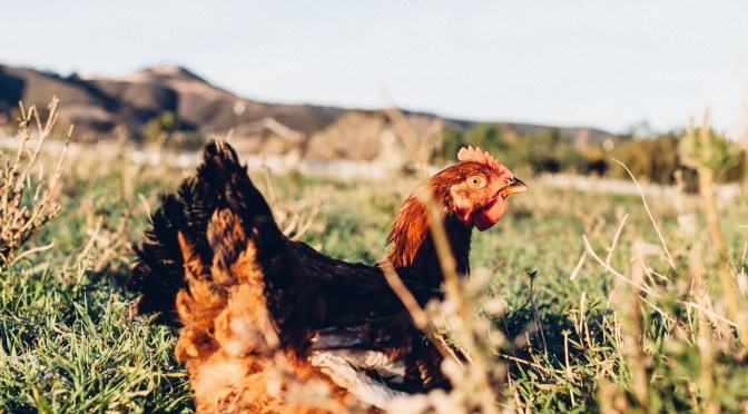 Pasturebird Raises Funding to Create Largest Pastured Poultry Farm in US Using Regenerative Techniques
