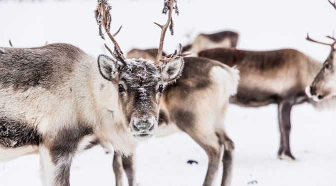 Don't Tell The Kids, But We Should Be Eating Reindeer Meat