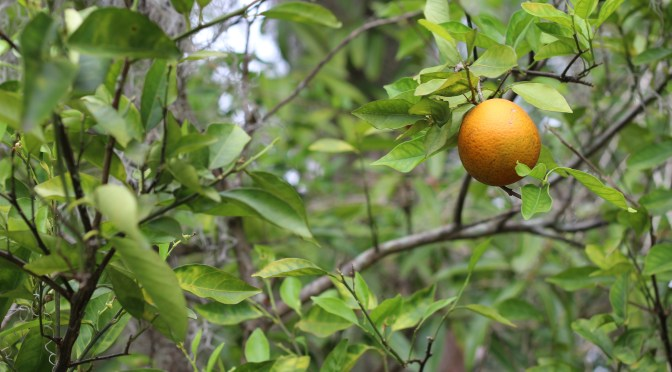 AgTech Startups Offer Hope in Brutal Citrus Greening Fight