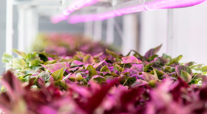 Grower or Tech Company? Indoor Farmers Must Make Up Their Minds