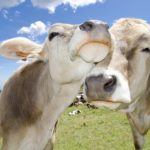 In the Mooood For Love: UK Startup Launches Tudder, a Tinder For Cows