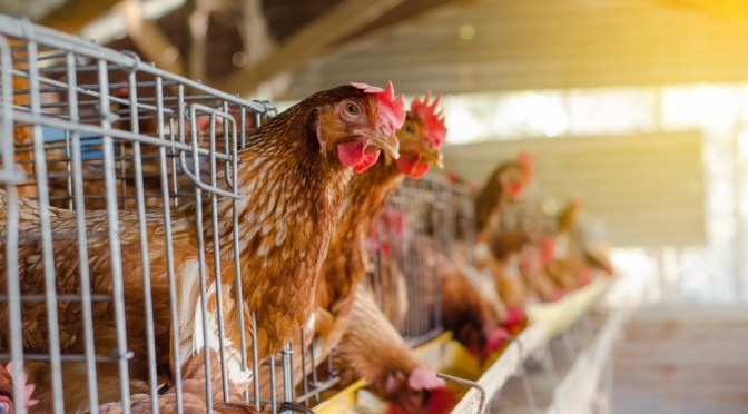 Poultry Producers Tyson, Perdue Turn to Technology to Improve Animal Welfare