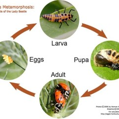 Diagram Of A Pill Bug 2004 Ford Escape Wiring Gardening Handbook Types Insect Metamorphosis