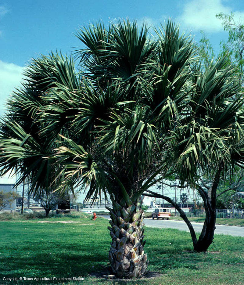 Palmetto And White Black Tree