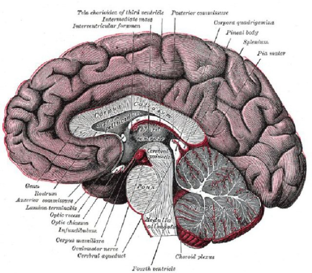 brain-diagram-labeled-124