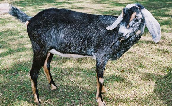 ヌビアン山羊