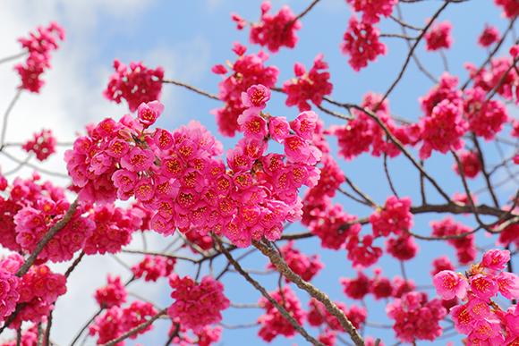 「寒緋桜」の画像検索結果