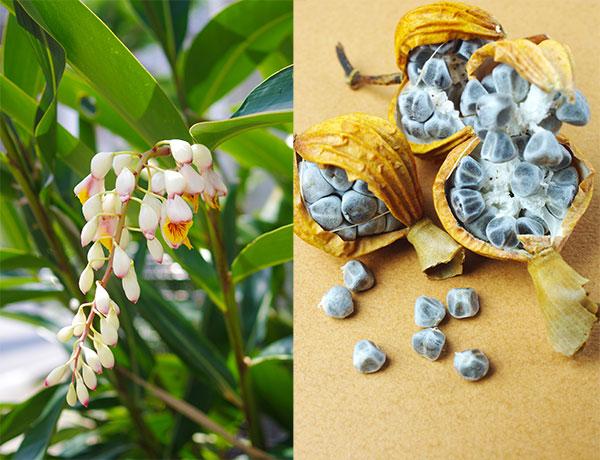 月桃の実と花の画像