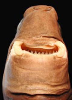 Cookiecutter_shark_kuti-sita