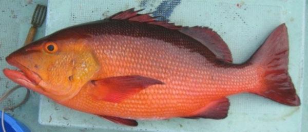 バラフエダイ毒魚