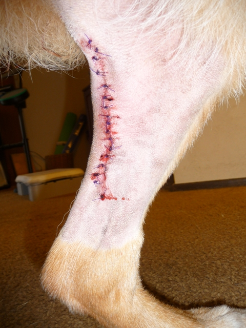 Incision from removal of cherry-sized mast cell tumor