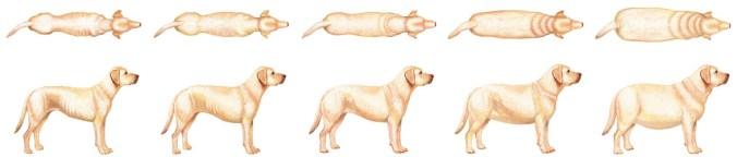 Vægthund