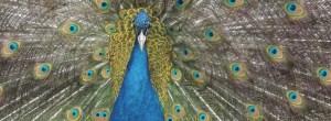 peafowl2