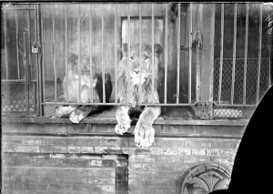 lionsLPZ 1905